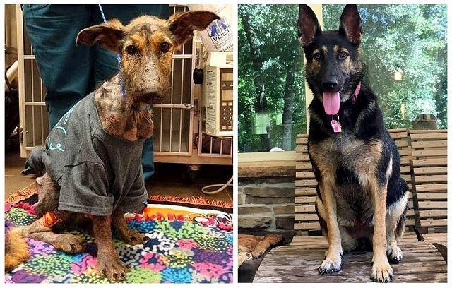 pastor-alemão-frannie-antes-e-depois