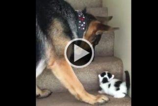Companherismo: pastor alemão ajuda gatinho a subir escadas