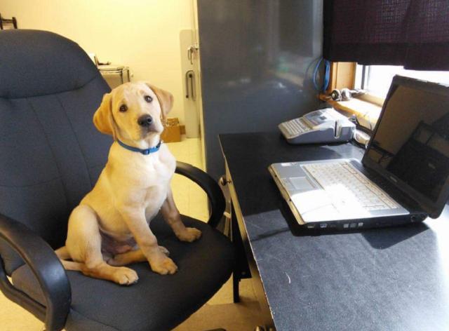 pequeno-labrador-em-cadeira-de-escritorio