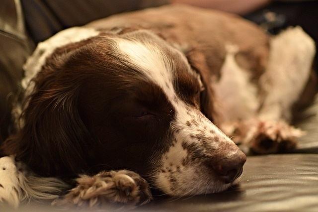 Por que alguns cachorros dormem tanto?