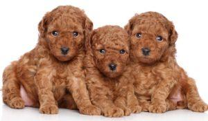 Toy-poodle puppies portrait (30 days) on a white background