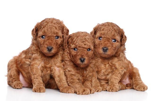 Quantos cães filhotes pode ter um poodle?