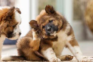 Quais remédios caseiros podem tratar dermatite em cães