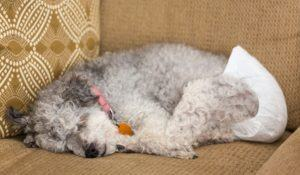 Old yorkshire terrier poodle mix dog asleep on couch and wearing a doggy diaper for incontinence