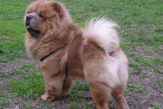 Saiba como cuidar corretamente de um cão chow chow