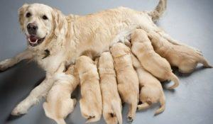 female dog of golden retriever with puppies