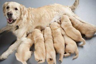 Saiba como você pode ajudar sua cadela na hora do parto