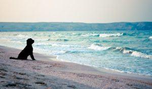 Black dog (giant schnauzer) watching at the waving sea.