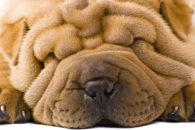Intertrigo: a dermatite das dobras cutâneas dos cães