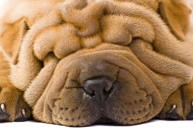 O intertrigo é uma dermatite das dobras cutâneas dos cães