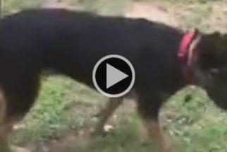 Vídeo: encontrada em estado deplorável, cadela passa por transformação