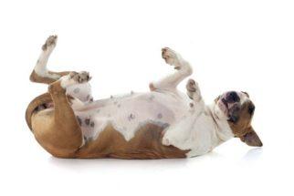 Aprenda como ensinar o seu cão a rolar