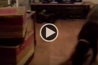 Brincalhona, cadela imita criança deslizando em assoalho