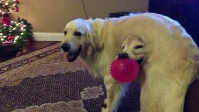 cachorro-com-cabeca-na-barriga