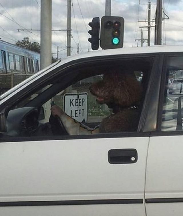 cachorro-dirigindo-carro