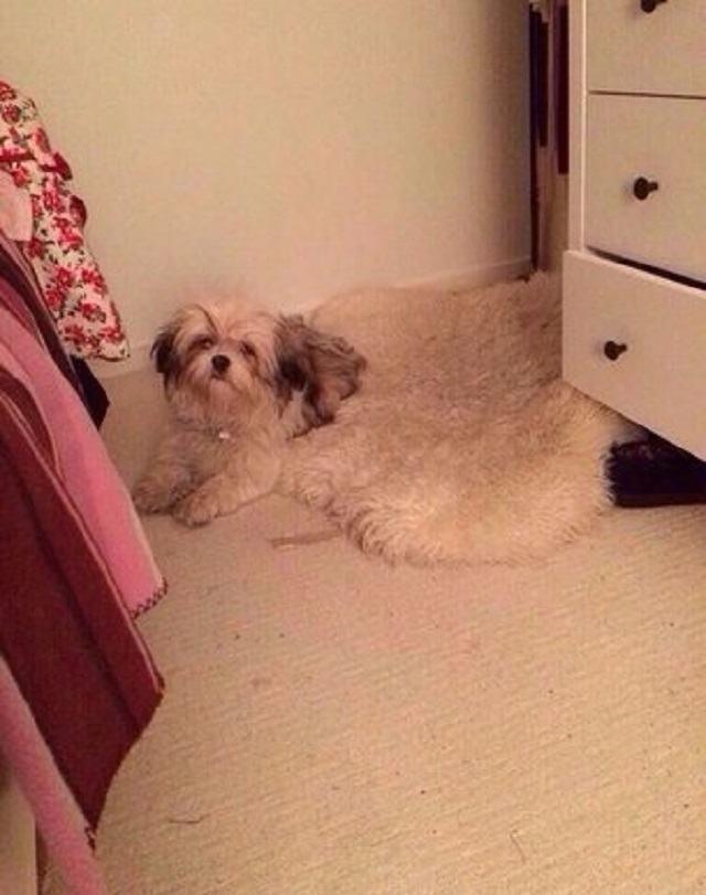 cachorro-que-se-mistura-com-tapete