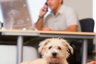 Cães no escritório elevam o bem-estar dos funcionários