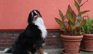 Bernese mountain dog besides potted plants and in front of an orange house wall.
