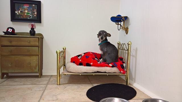 chihuahua-dentro-de-seu-quarto