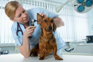 Como descobrir se o meu cão tem otite? Identifique os sintomas