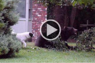 Corajoso, cãozinho encara urso que invadiu o quintal da sua casa