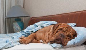Lovely dog of Dogue De Bordeaux breed is Sleeping Sweetly in Owner's Bed