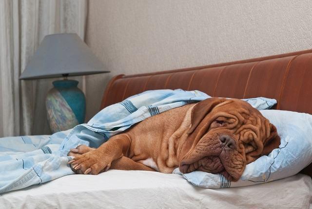 Descubra como saber se o seu cão tem filariose
