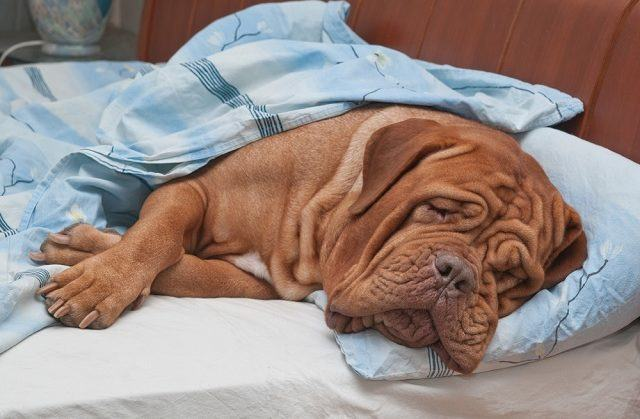 Descubra o que fazer quando o seu cão não quer dormir