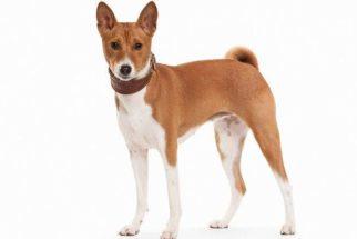 Entenda como cuidar de um cachorro basenji
