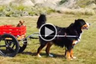 Fofura: cão leva filhotes para dar uma volta em carrinho