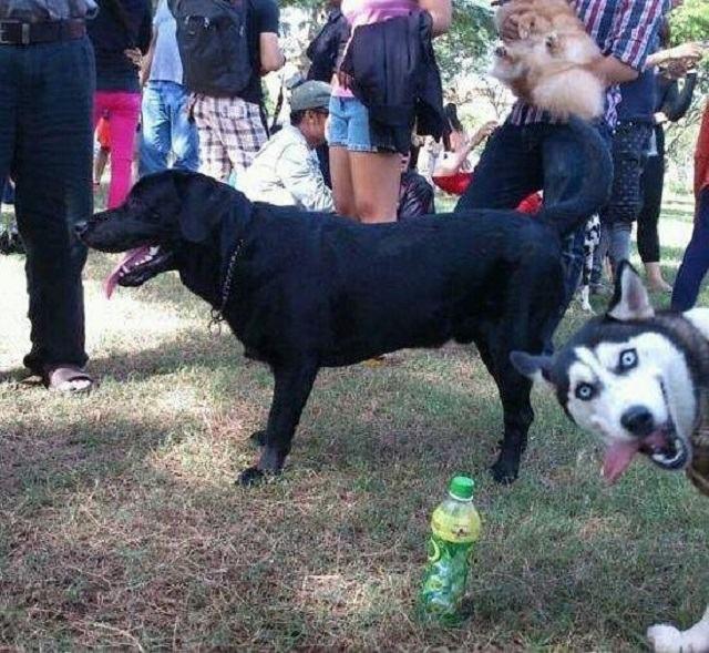 husky-aparecendo-em-foto-de-amigo-labrador