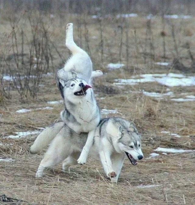 husky-pulando-e-caindo-sobre-outro
