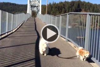 Amizade: lulu da Pomerânia vira cão-guia de cachorro cego