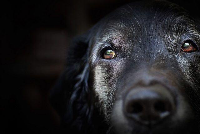 Os sintomas de envelhecimento em cães