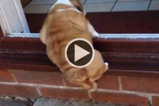Fofura: filhote de buldogue se esforça para subir em batente
