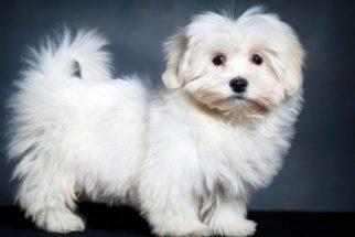 Quantos filhotes pode ter um cão maltês