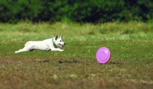 saiba-como-aumentar-as-plaquetas-de-um-cachorro