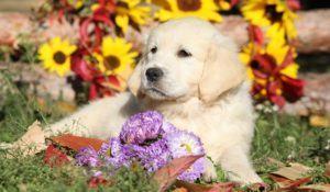 Golden Retriever Puppy lying between flowers