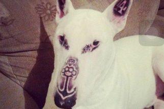 Tutor é acusado de maus tratos por tatuar rosto de seu bull terrier