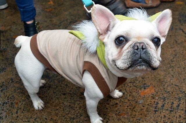 bulldogue-frances-fantasiado-de-mestre-yoda