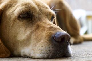 Remédios caseiros para controlar o vômito dos cães