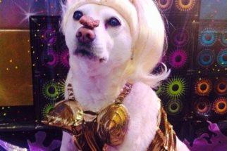 Cadela vestida de Madonna vai participar de concurso de fantasia