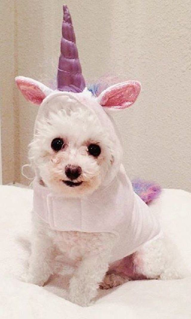 cadela-fantasiada-de-unicornio