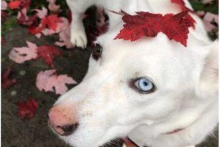 Cães com olhos de cores diferentes que vão roubar seu coração