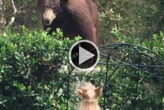 Cães valentes encaram urso que apareceu o quintal de sua casa