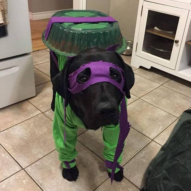 caozinho-com-fantasia-de-baixo-custo-de-donatello-das-tartarugas-ninja