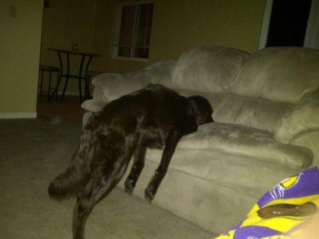 caozinho-dormindo-com-metade-do-corpo-em-sofa-e-a-outra-de-pe