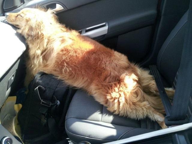 caozinho-dormindo-em-posicao-muito-engracada-dentro-de-carro