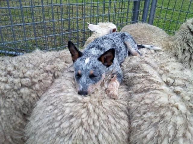 caozinho-dormindo-sobre-ovelhas
