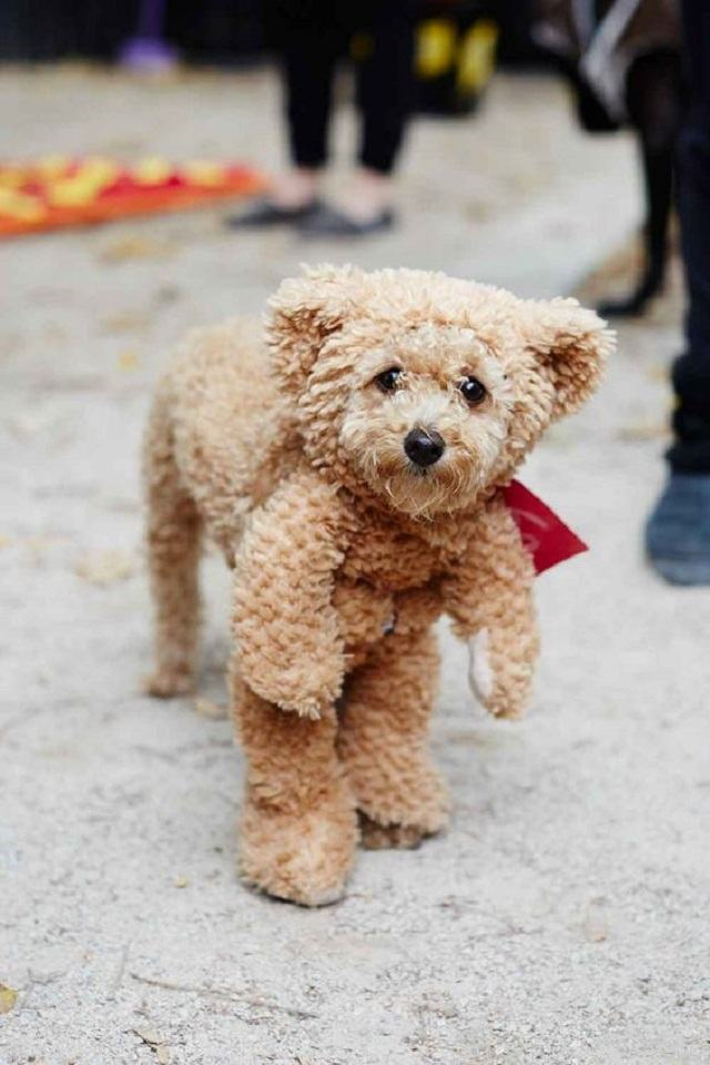 caozinho-vestido-como-urso-de-pelucia